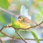 ウグイスと他の鳥との見分け方!色や大きさの違いは?