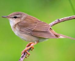 ウグイス 保護 野鳥