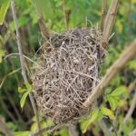 ウグイスの巣作り!どんな風に行われているの?