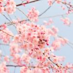 春を告げる鳴き声の比較!ホーホケキョと鳴くのは?