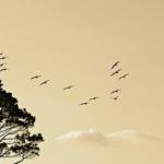 ウグイスは渡り鳥なのか?