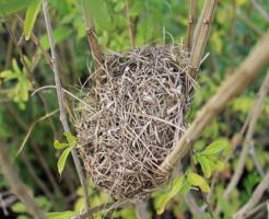 ウグイス 巣作り